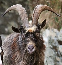 cropped-feralgoat1.jpg